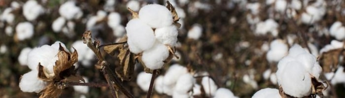 history of cotton