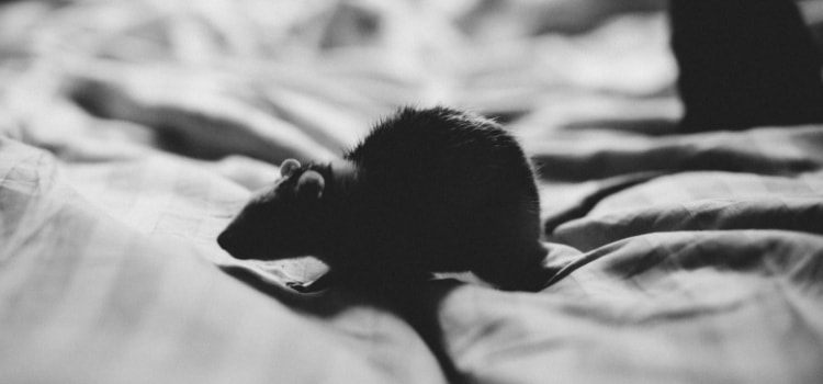 Can-mice-climb-in-bed