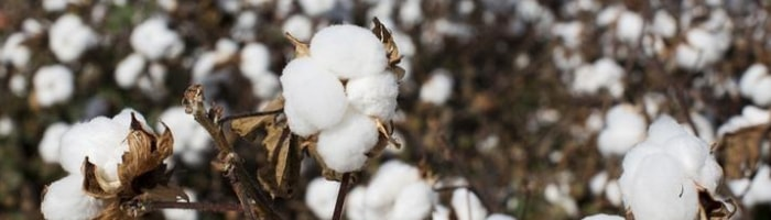 what is cotton