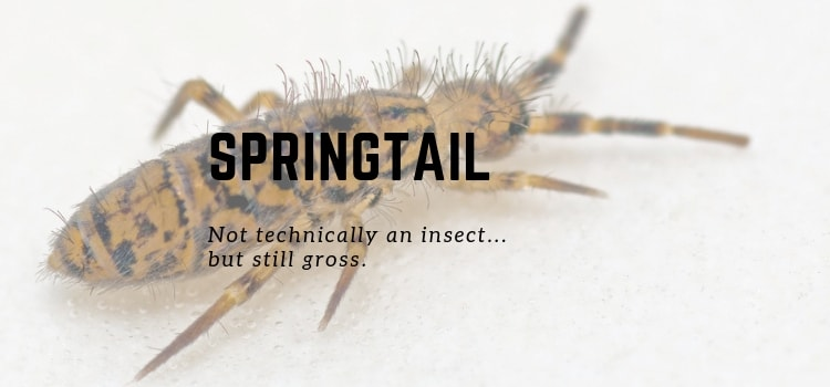 How To Get Rid Of Springtails In Your Bedroom