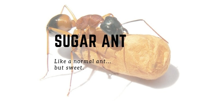 How To Get Rid Of Sugar Ants In Your Bedroom